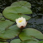 a very pale pink water lily (Nymphaea odorata (Water lily))