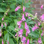 Penstemon 'Eveline' (Penstemon)