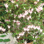 "Fuchsia ""Harry Gray"","