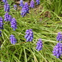 Grape_hyacinths
