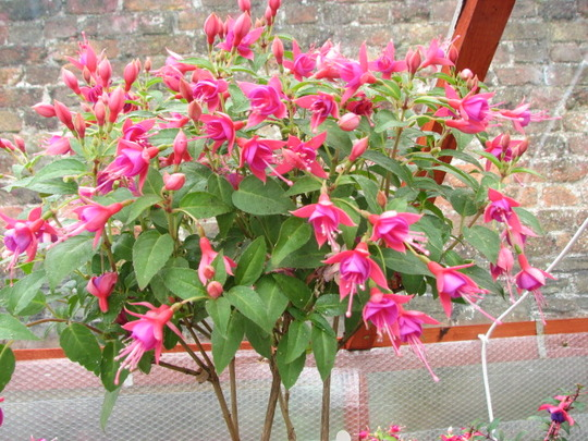 "Quarter Standard Fuchsia ""Pink Fantasia""."