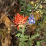 Wild flowers.  On the left Indian Paintbrush (Castilleja miniata)