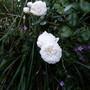 Rambling Rose 'Long John Silver'