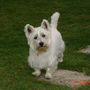 Poppy my little West highland terrier