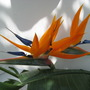 Strelitzia in my greenhouse~really large flower!