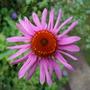 summer 2007 (Echinacea purpurea (Coneflower))