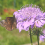 "Scabiosa ""Butterfly Blue"" and Friend (Scabiosa columbaria (Driakiew))"