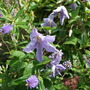 Clematis_blue_angel_climbing_through_a_hebe_and_a_spiraea