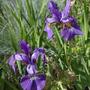Purple Iris (Iris)