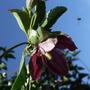 Lansdowne_gem_flowering_now