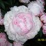 100_1367.jpg (Paeonia lactiflora (Peony))