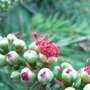 Callistemon linearis - bud break (Callistemon linearis)