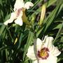 Daylily 'Pandora's Box' (Hemerocallis)