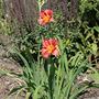 Red Daylilies (Hemerocallis)