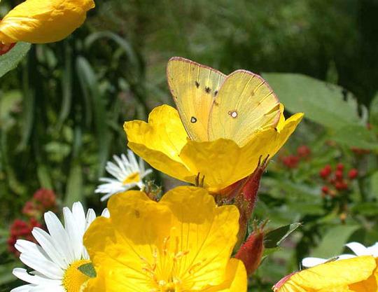 Sundrops, Daisies, and Orange Sulphur (Oenothera tetragona)