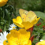Sundrops, Daisies, and Orange Sulphur (Oenothera tetragona)
