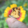 Pearl_crescent_on_finger_gailardia_back_9_26_06_exc_med