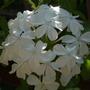 White Plumbago at Winsford