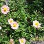 Alpine Rock Rose (Cistus creticus)