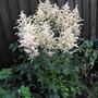 """Pale Pink Astible Pic 4 Eileen """"Irish"""" (Astilbe simplicifolia)"""