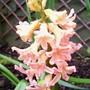 Hyacinth 'Gypsy Queen' (Hyacinthus orientalis)