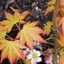 27_3_2.jpg (Acer palmatum)
