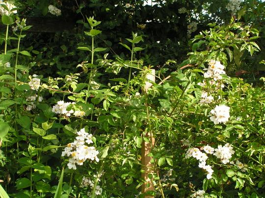 Rosa Filipes Kiftsgate (Rosa filipes 'Kiftsgate'(Rambler rose))