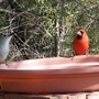 Cardnal and Woodpecker on the bird-bath