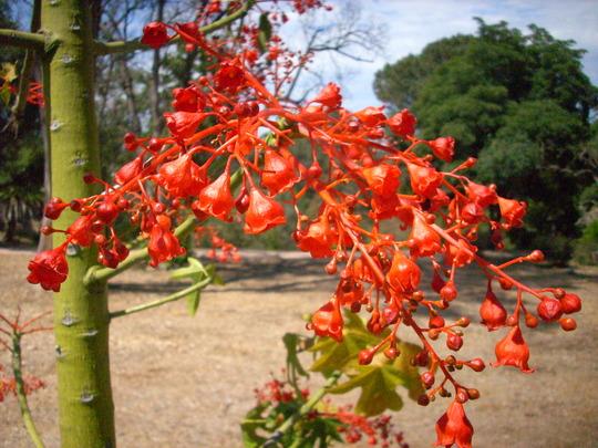 Brachychiton acerifolia - Illawarra Flame Tree Flowers (Brachychiton acerifolia - Illawarra Flame Tree)