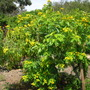 Cassia tomentosa synonym of Senna hirsuta var. hirsuta - Wolly Senna (Cassia tomentosa synonym of Senna hirsuta var. hirsuta - Wolly Senna)