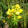 Cassia tomentosa synonym of Senna hirsuta var. hirsuta - Wolly Senna (Cassia tomentosa synonym of Senna hirsuta var. hirsuta - Wolly Senna)