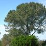 The Very Rare Torrey Pine - Pinus torreyana (The Very Rare Torrey Pine - Pinus torreyana)