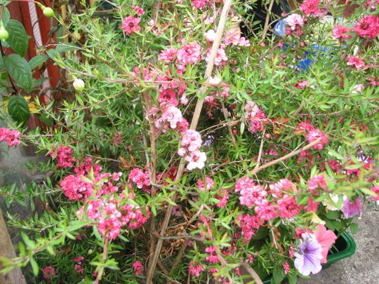 Tea plant  (i think)