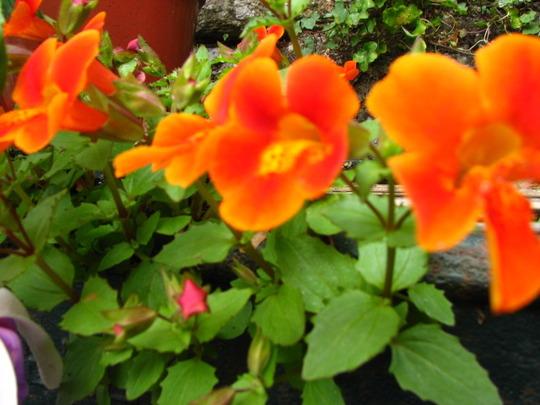 Monkey Flower,