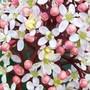 Close up of Skimmia flower (Skimmia japonica)