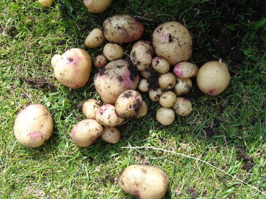First potatoes
