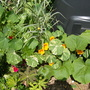 Nasturtiums, grasses and pumpkin plant