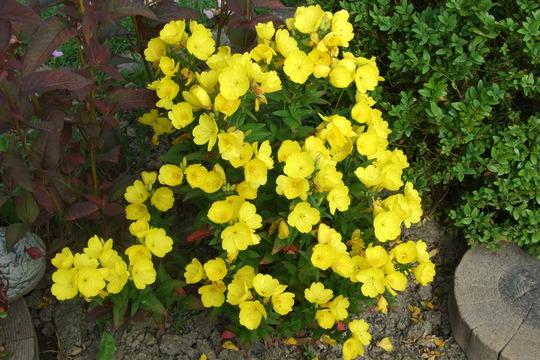 Evening primrose,,,, (Oenothera fruticosa)