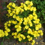 Evening primrose,,,, (Oenothera fruticosa)