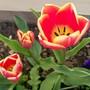 03ang.jpg (Tulipa acuminata (Tulip))