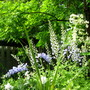 Delphiniums drooping with all the thunder, lightening and rain!