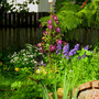 Clematis Warsaw Nike, Delphiniums, stelle d&#x27;oro daylilies, and feverfew