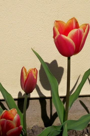 05ang.jpg (Tulipa acuminata (Tulip))