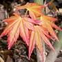 Acer 'Sango-Kaku'  (Acer palmatum)