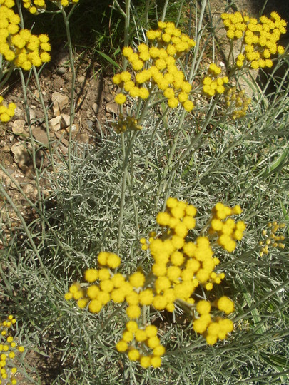 Curry Plant (Helichrysum italicum (Curry Plant))