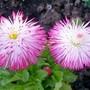 Bellis Daisy 'Habanera Mixed' (Bellis perennis (Common Daisy))