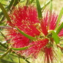Callistemon....Bottle Brush