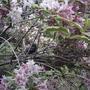 Weigela  (Weigela florida 'Variegata')