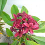 My Plumeria rubra 'Hilo Beauty' - Hilo Beauty Plumeria (My Plumeria rubra 'Hilo Beauty' - Hilo Beauty Plumeria)