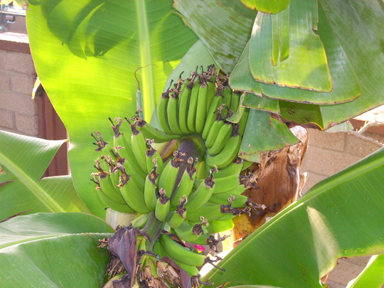 Musa 'Super Dwarf' - Super Dwarf Banana Plant (Musa 'Super Dwarf' - Super Dwarf Banana Plant)